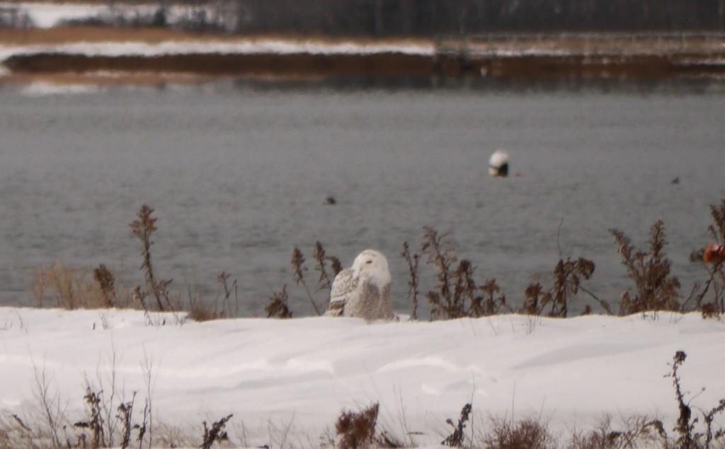 snowy owl outdoor devil