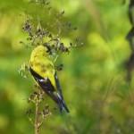 american goldfinch duke 2