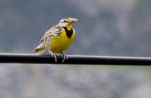 meadowlark, birding, nc