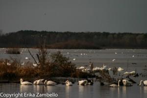 tundra swans, north carolina, lake pocosin, birding, outdoor devil