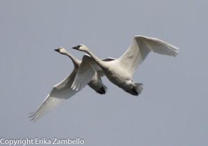 tundra swans, flight, north carolina, lake pocosin, outdoor devil