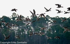 northern pintail, waterfowl, flock, flight, lake mattamuskeet, north carolina, outdoor devil