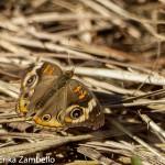 Common Buckeye. Photo by Erika Zambello