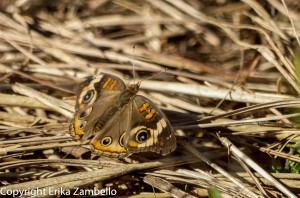 Common Buckeye. Photo by Erika Zambello