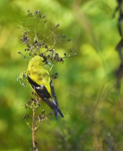 American Goldfinch in breeding colors. Photo by Erika Zambello.