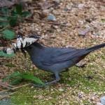grey catbird and tiger swallowtail