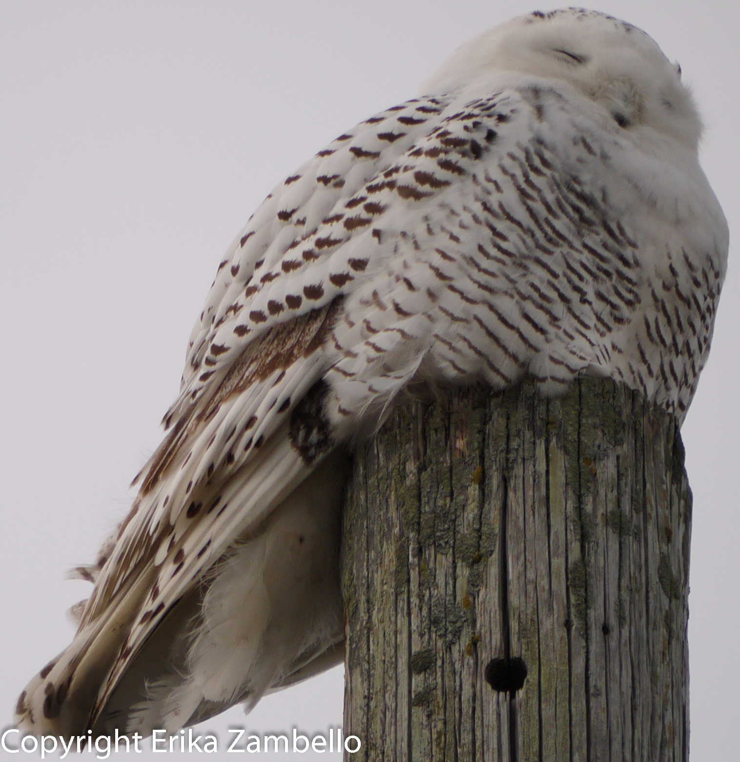 snowy owl, owl, coastline, ocean, maine, winter, holidays, birding, birds, birdwatching, wildlife, landscape, vista, view. nature