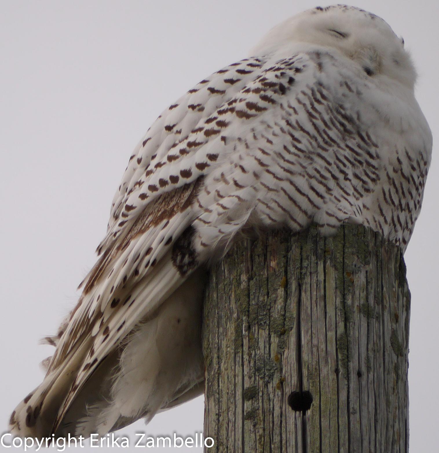 snowy owl, owl, coastline, ocean, maine, winter, holidays, birding, birds, birdwatching, wildlife, landscape, vista, view. nature