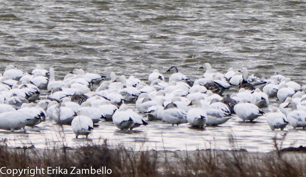 snow geese, outer banks, pea island, birding