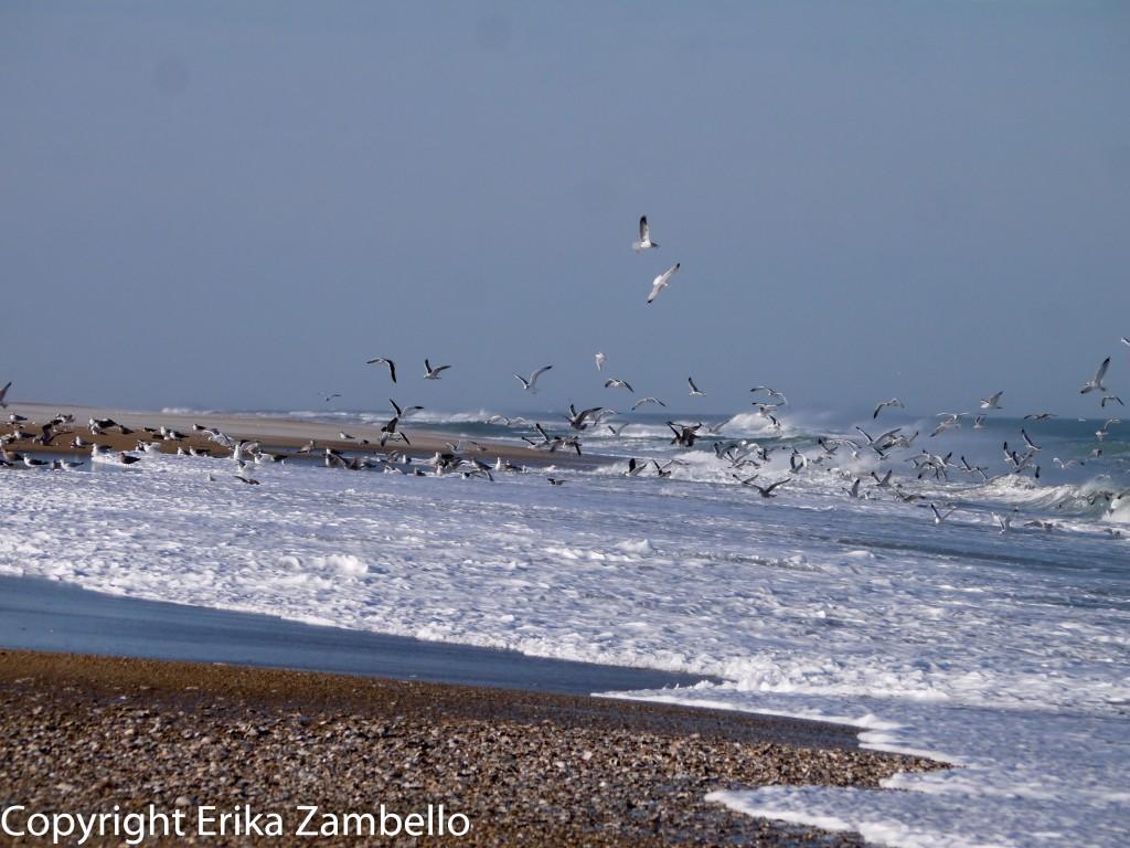 snow geese, birding, pea island, outer banks