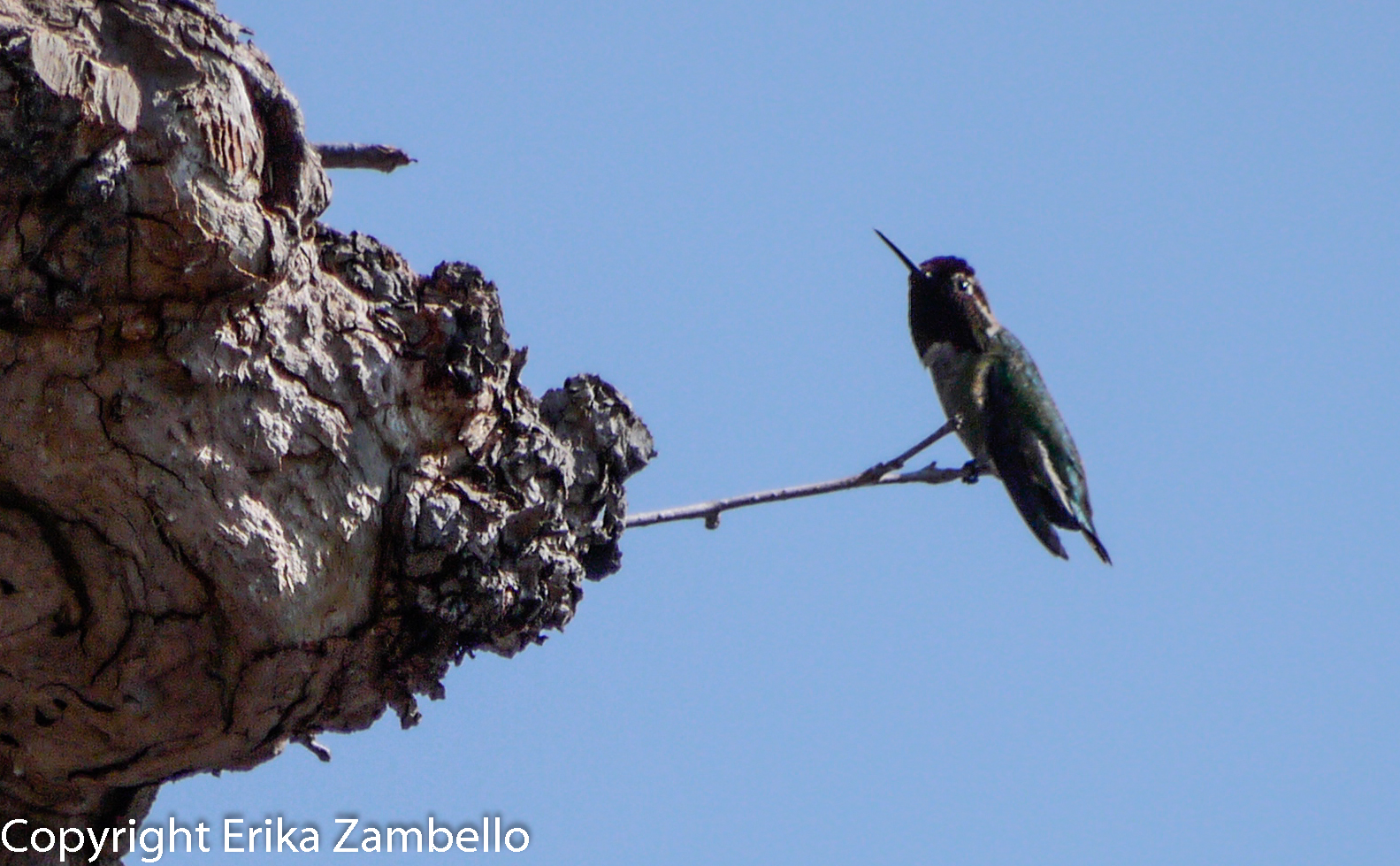 birding, birds, hummingbird, berkeley, california