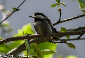 birding, birds, chickadee, berkeley, california