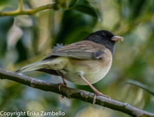 birding, birds, junco, california, berkeley