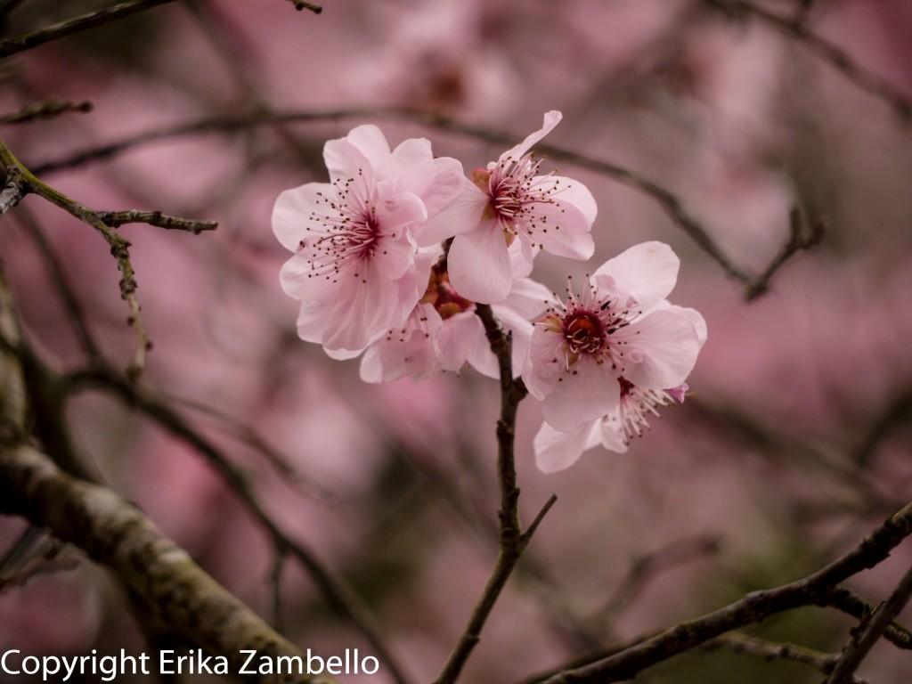 duke gardens, flowers, blossoms, north carolina, spring