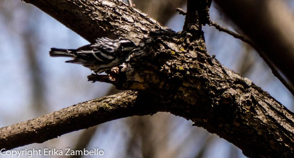 17 acre woods, birding, warbler