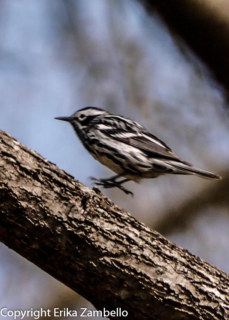 warbler, birding, north carolina