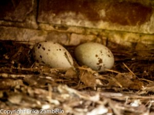 black vulture, egg, birding