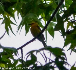 prothonotary warbler, warbler, birding, outer banks