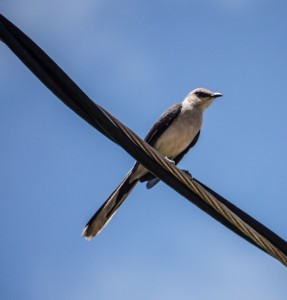 Tropical Mockingbird. Photo by Erika Zambello