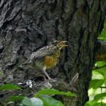 American Robin fledgling.