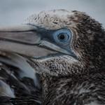 northern gannet ,birds
