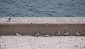 least terns, birding, florida