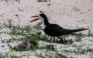 black skimmer, birding