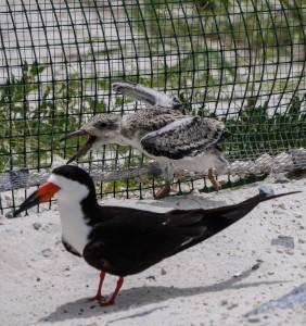 least tern, black skimmer, birds