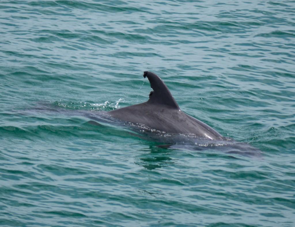 dolphin, florida