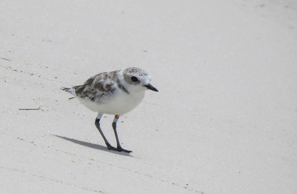 snowy plover, florida, migration