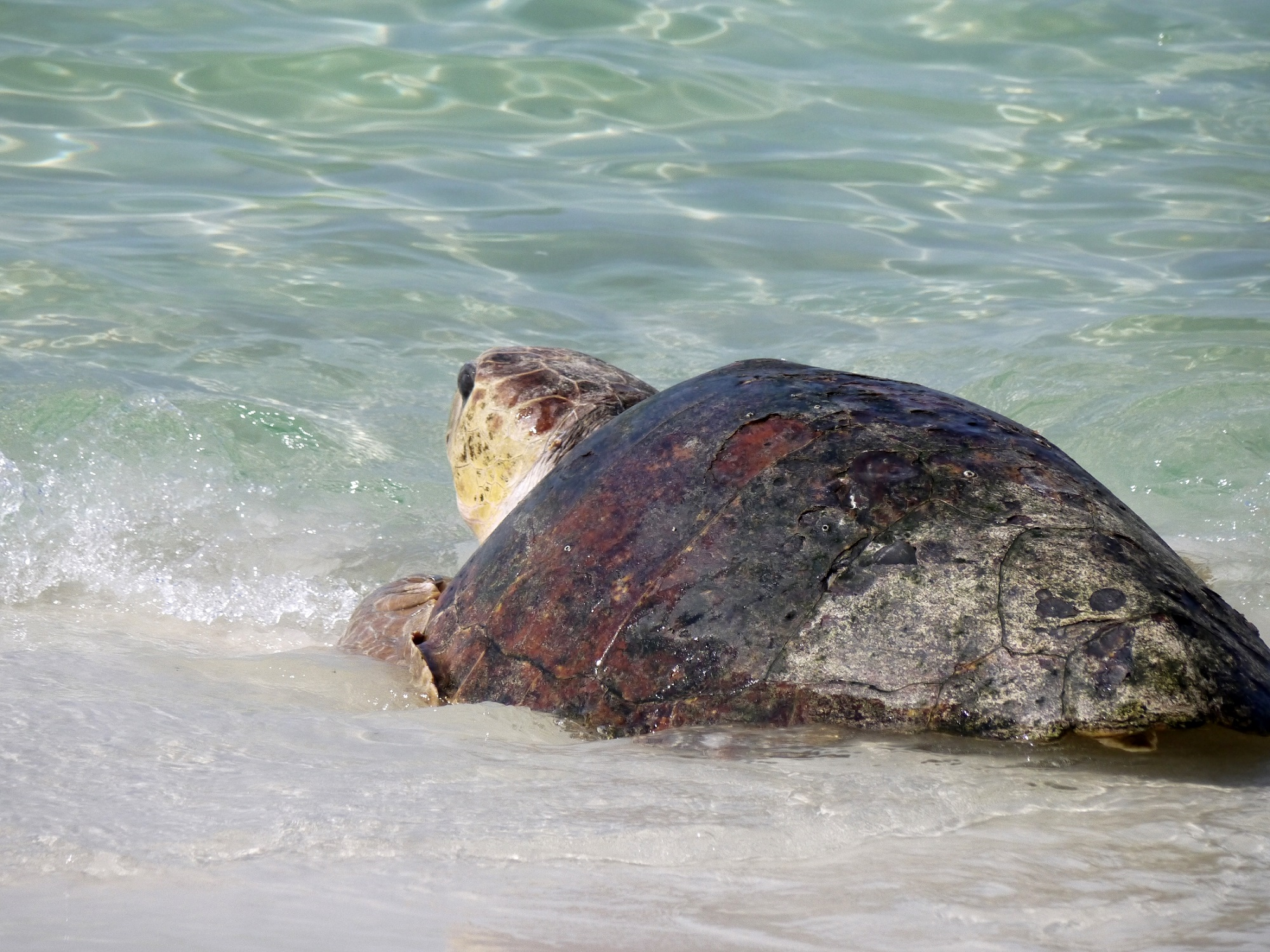 sea turtle, florida