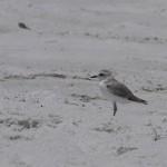 Snowy Plover 8.20 beasley park okaloosa island