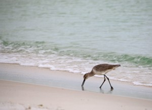 birding, nature, shorebird, duke