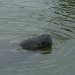 manatee, conservation, power plants