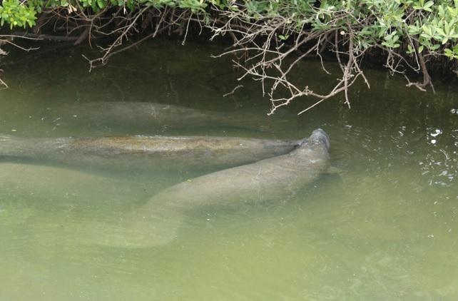 manatee, conservation, florida