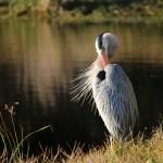 great blue heron, bird, florida