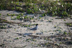 nesting, skimmer, nature, birding, florida, least tern