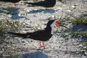 nesting, skimmer, nature, birding, florida