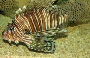 lionfish, florida, pensacola