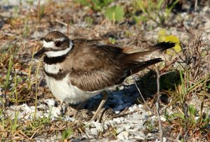 killdeer, nature, landscape, bird