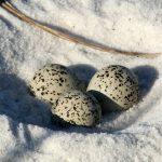eggs, birding, nature