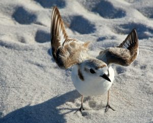 snowy plover, nature, landscape, bird, florida