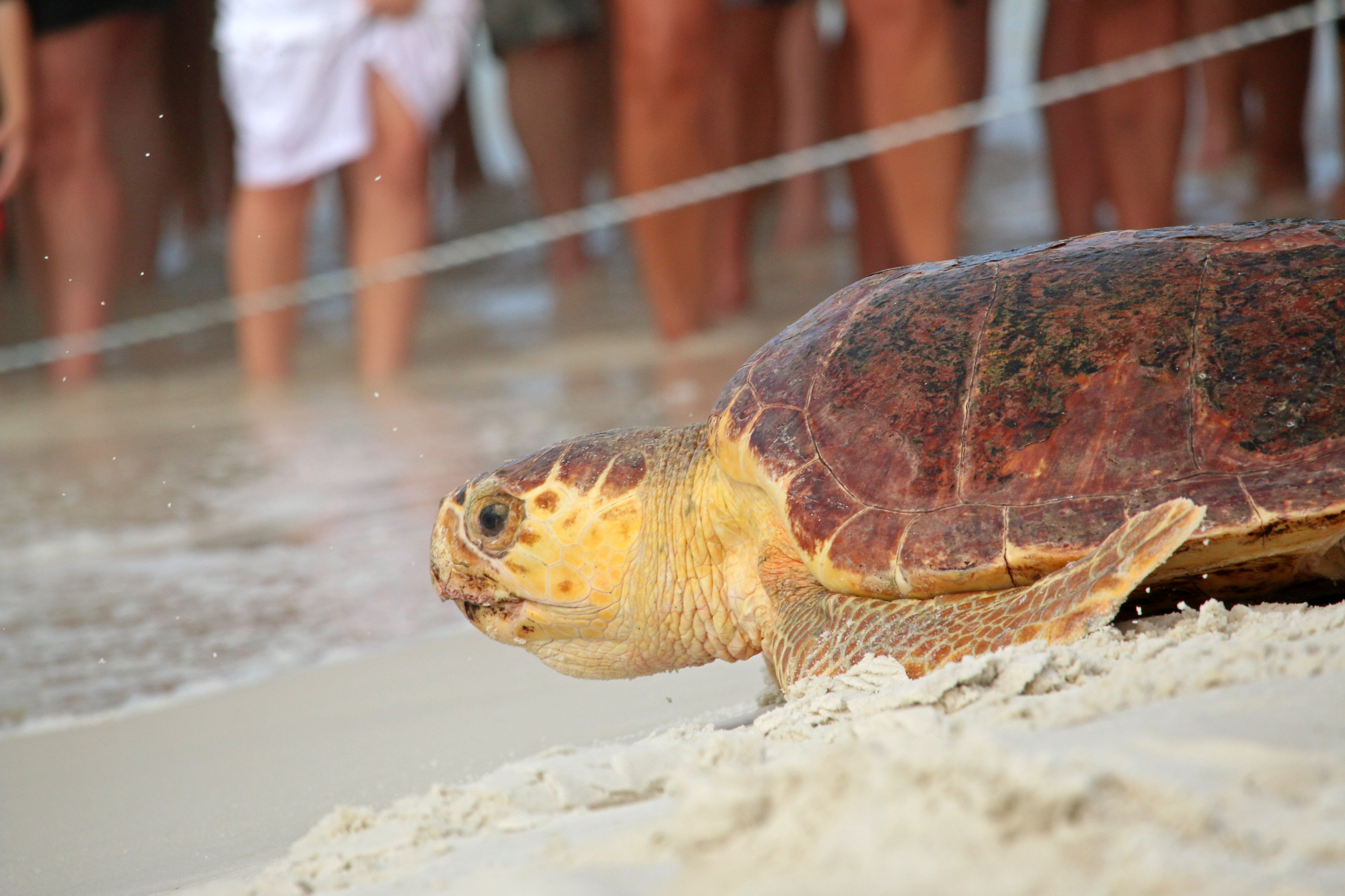 gulfarium, sea turtle, nature, florida
