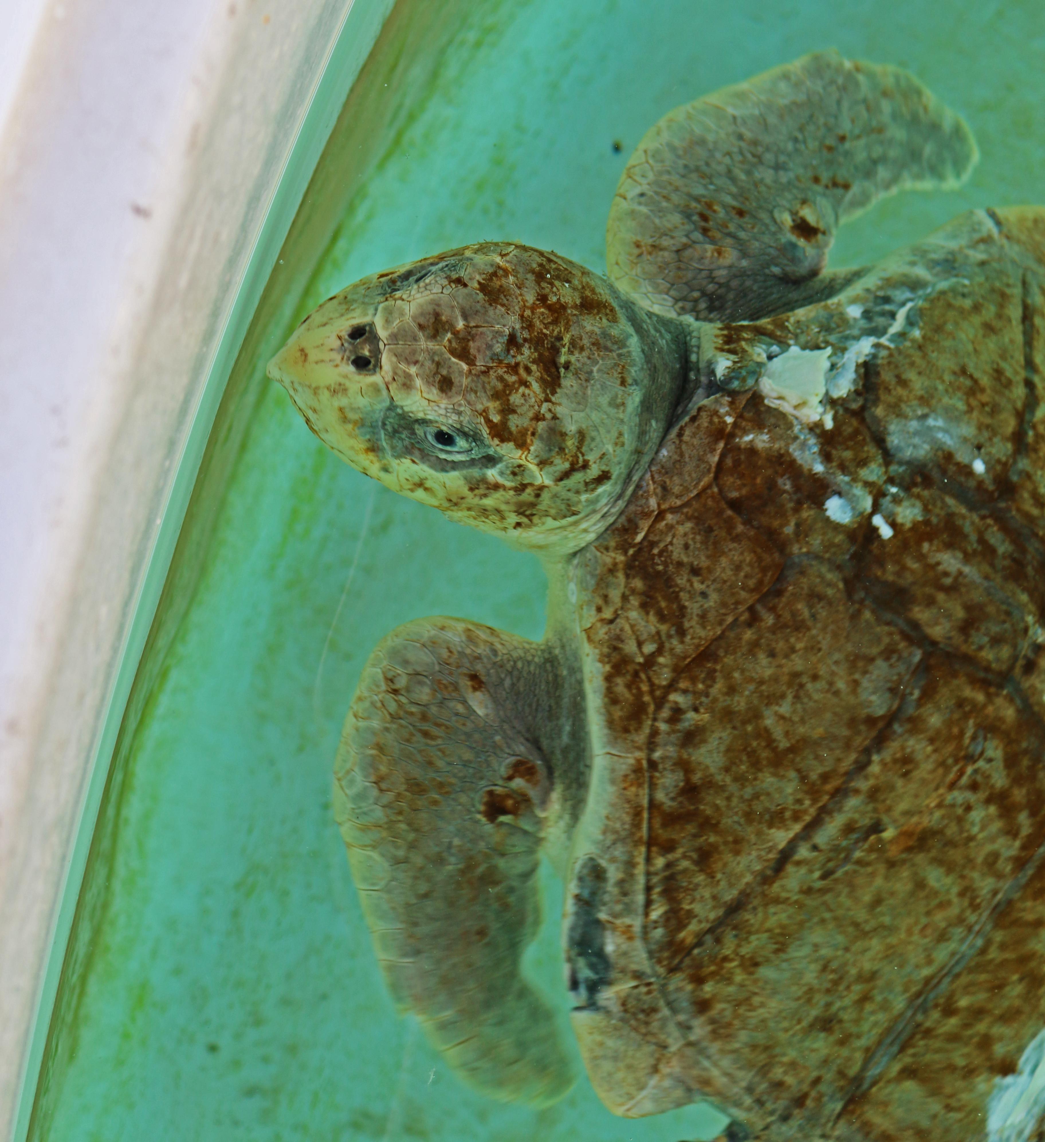 three species of rescued sea turtles u2013 outdoor devil