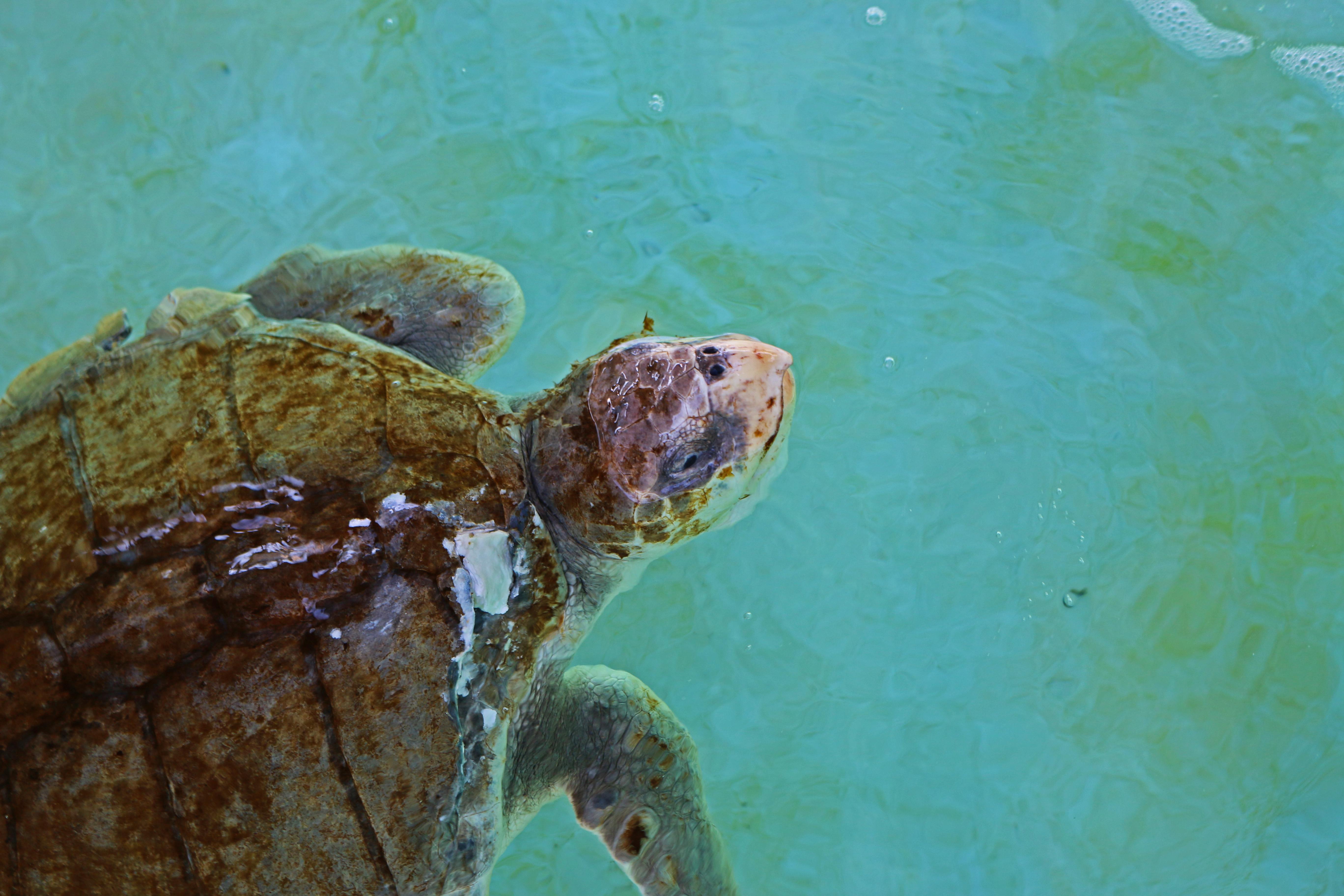 sea turtle, nature, florida