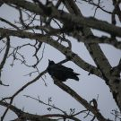 The Return of the Common Raven
