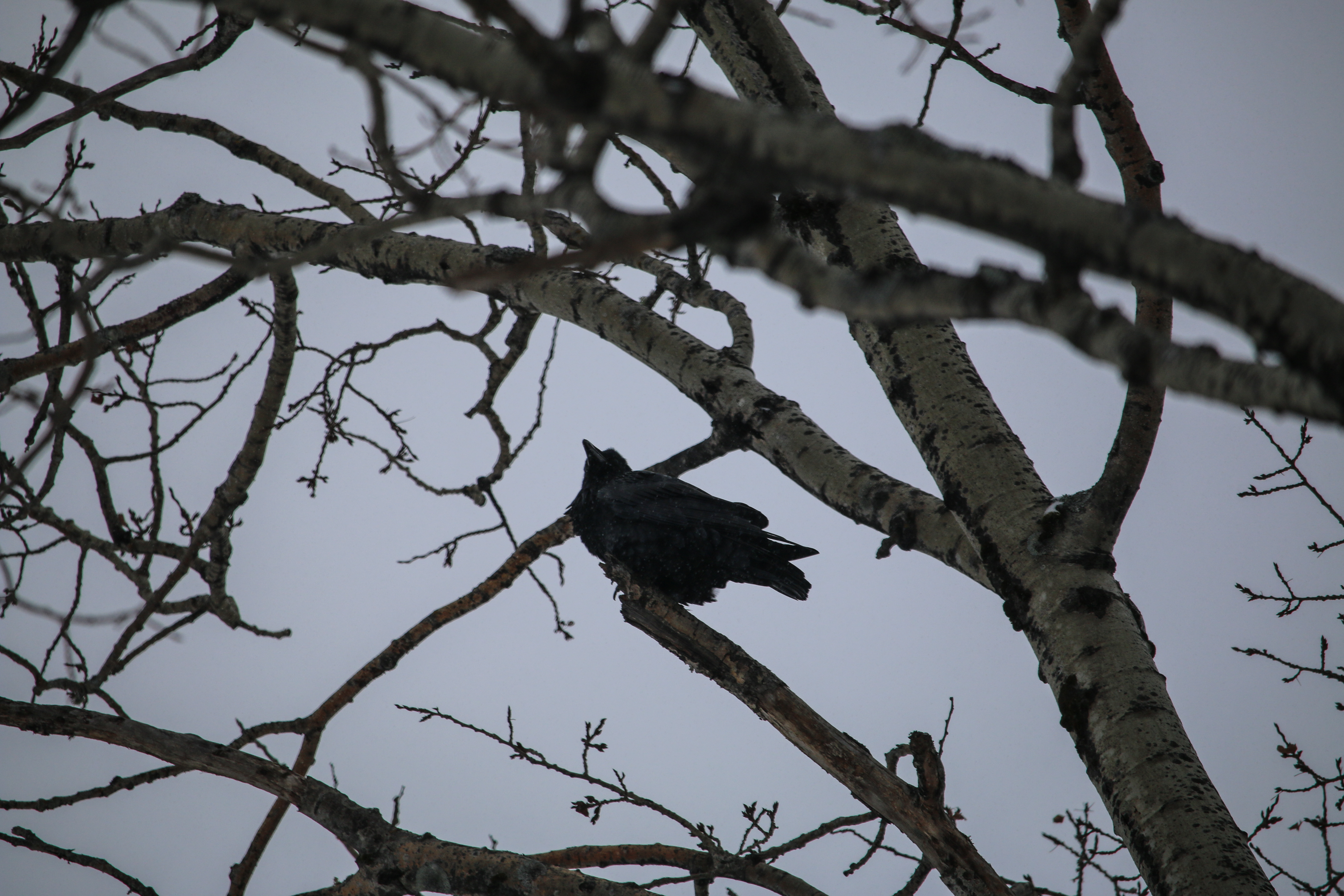 raven, nature, landscape, birding