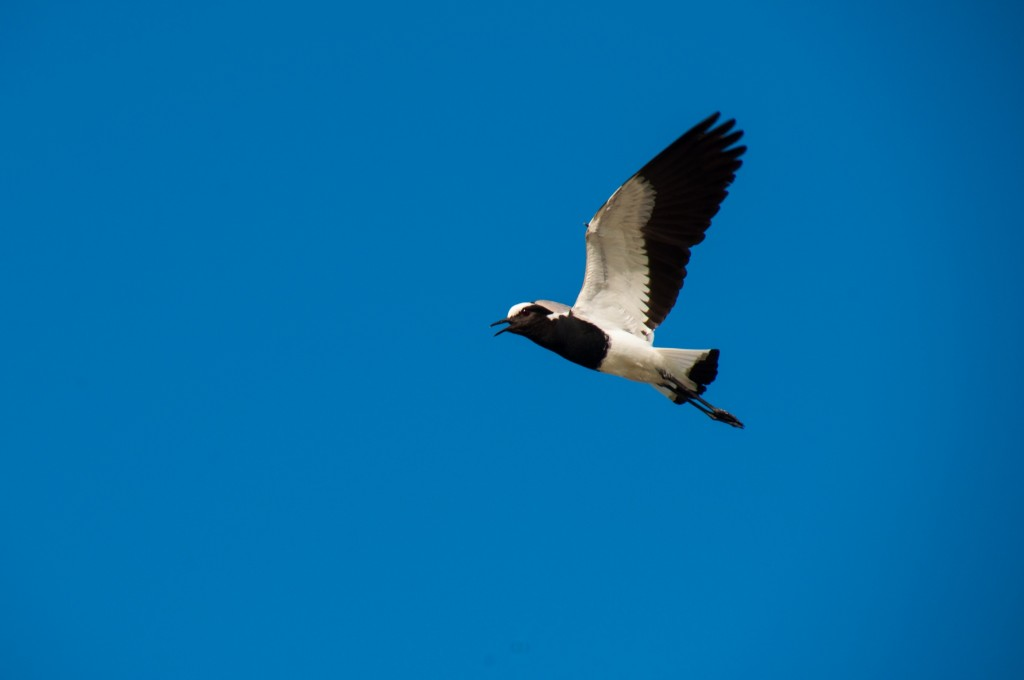 Blacksmith Lapwings however, will readily dive bomb you if you get too close