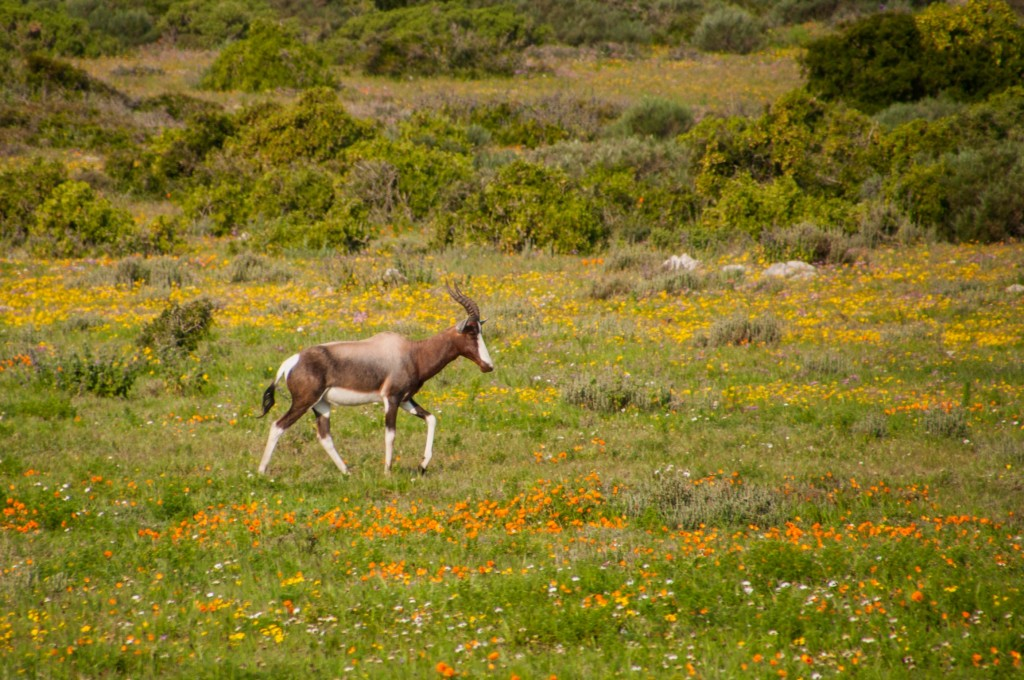 This bontebok would not stop grazing. But waiting and watching for the moment it lifts its head was well worth it.