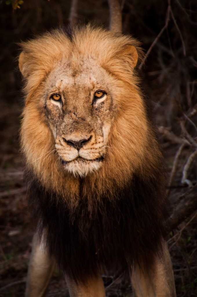 What captures a South African bush experience better than having a male lion stare into your soul at sunrise?